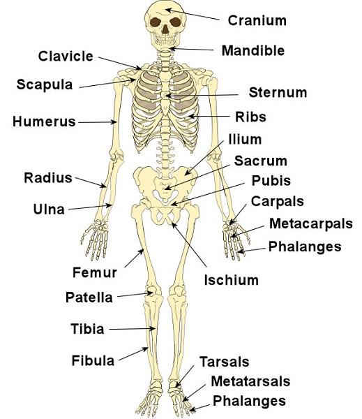 skeletal system diagram labeled