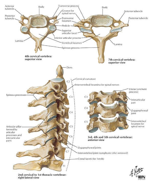vertebrae diagram bones