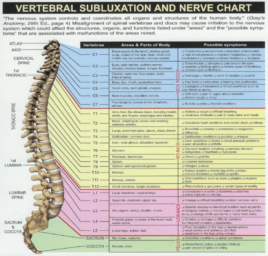 vertebrae diagram detailed
