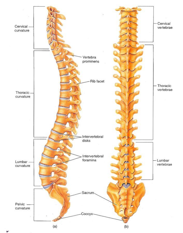 vertebrae diagrvertebrae diagram human