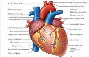 3D Human Heart Diagram