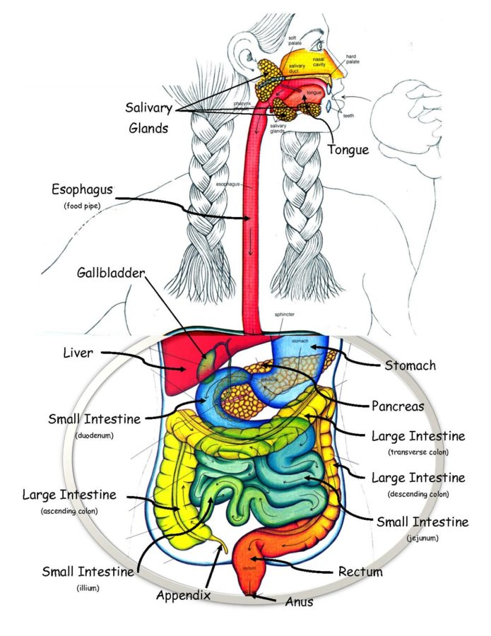Human Diagram of Digestive System Labeled