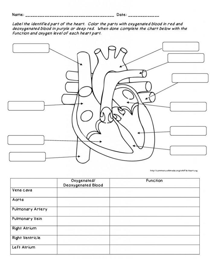 Human Heart Diagrams | 101 Diagrams