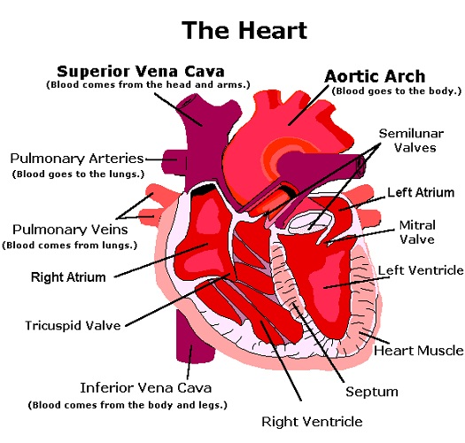 Human Heart Diagram and Functions