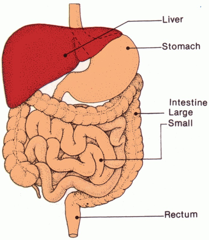 Simple Diagram of Digestive System
