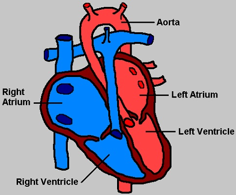 Simple Human Heart Diagram