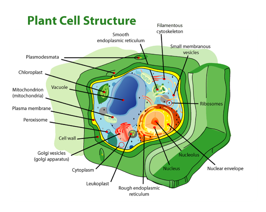 diagram of plant cell structure