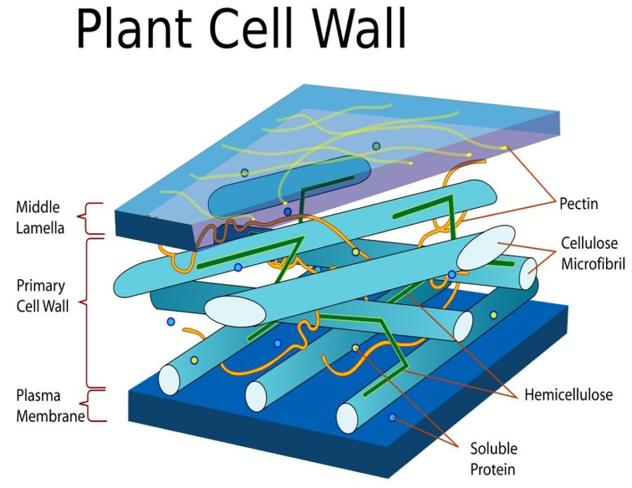 diagram of plant cell wall