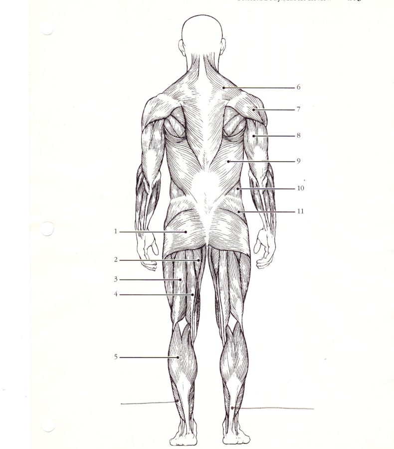 Back Muscles Diagram Unlabled
