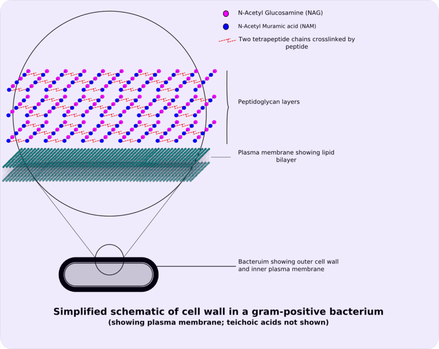 Bacterial Cell Diagram Wall