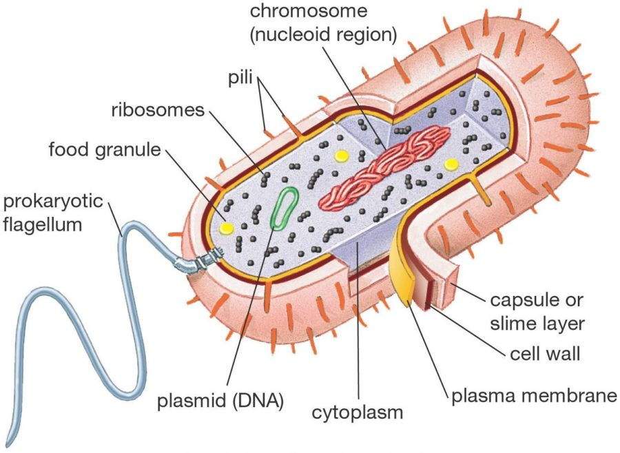 Bacterial Cell Diagram with Labels