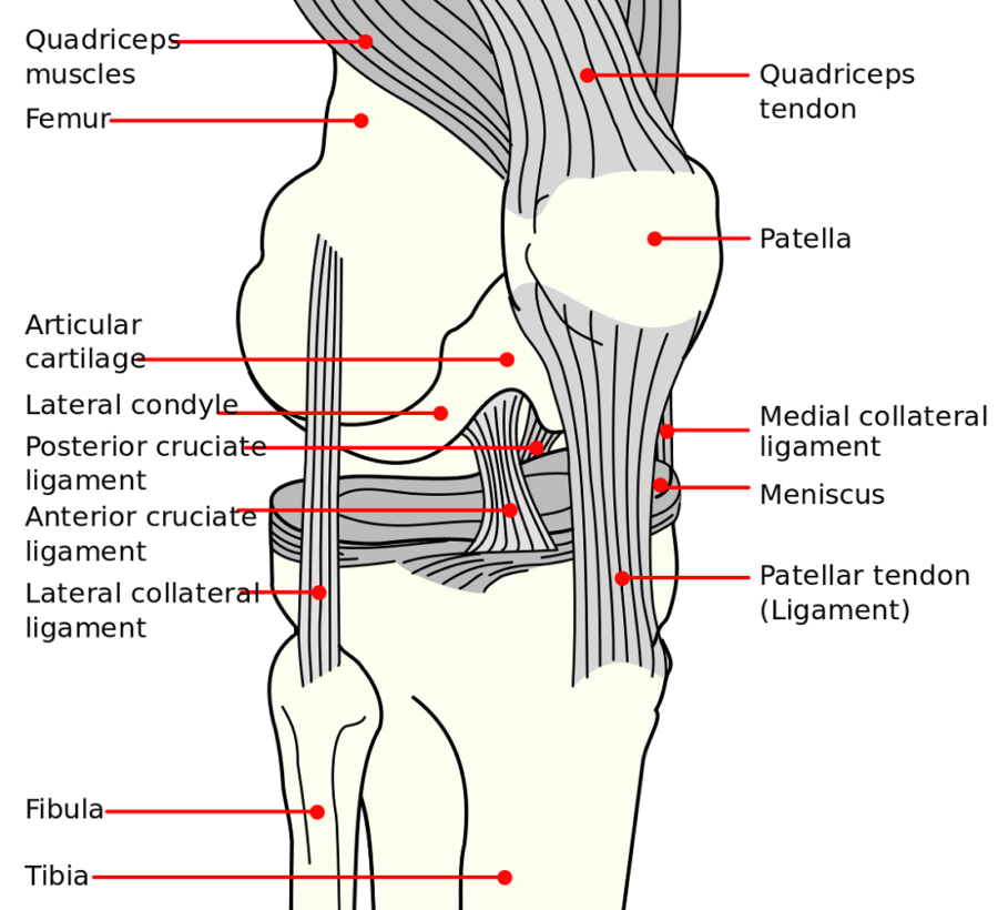 Diagram of Knee ACL Pull