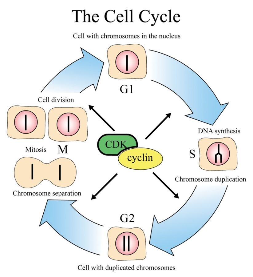 Diagram of a Cell Cycle
