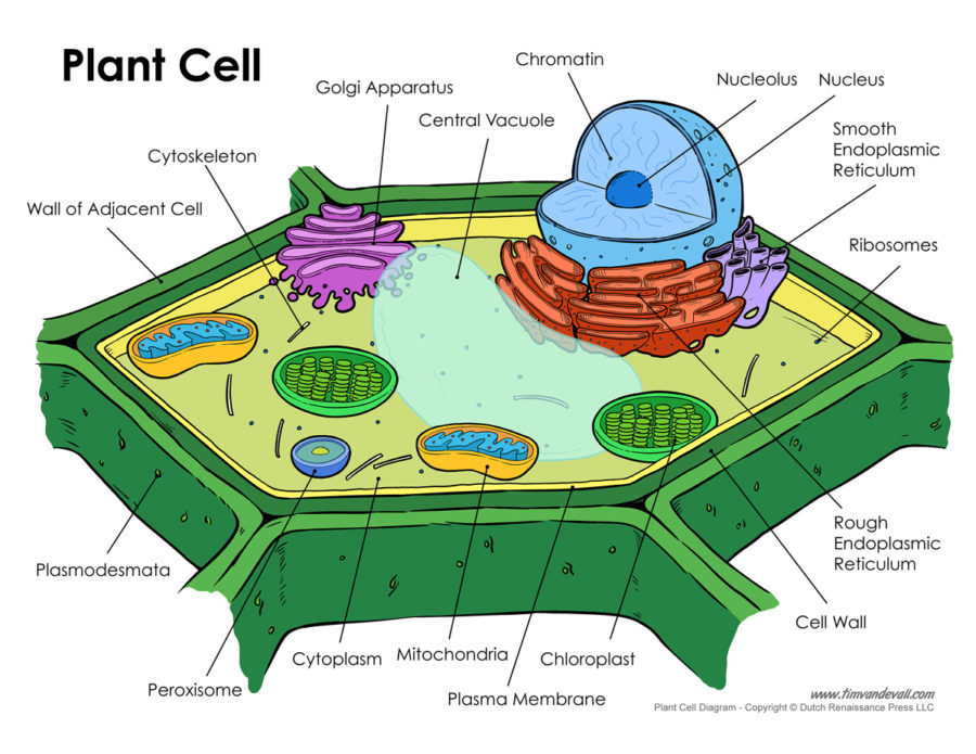 Diagram of a plant cell labeled