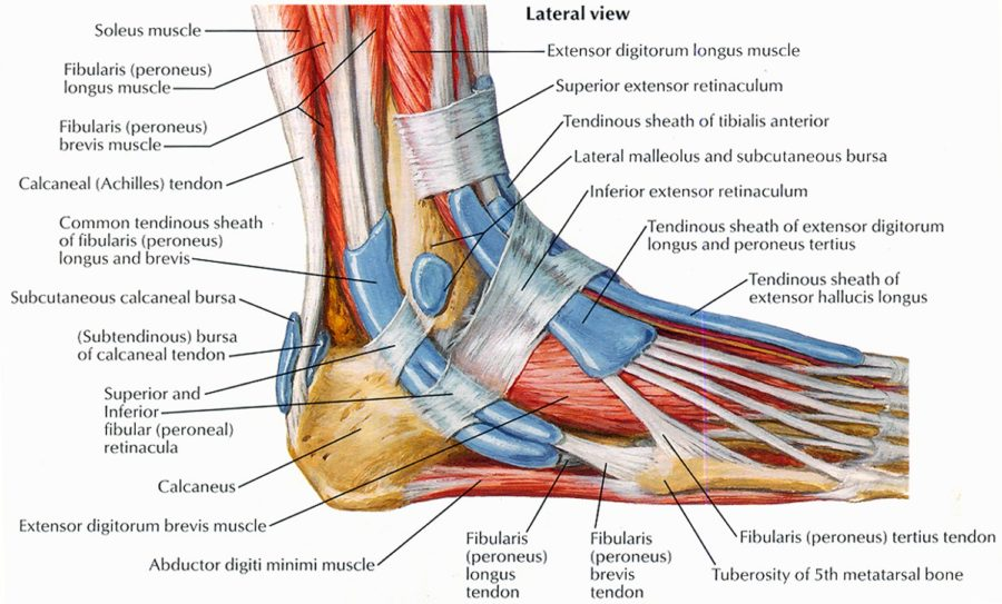 Diagram of the foot instep