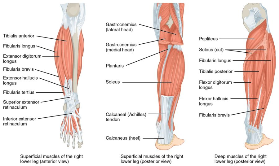 Diagram of the foot muscles