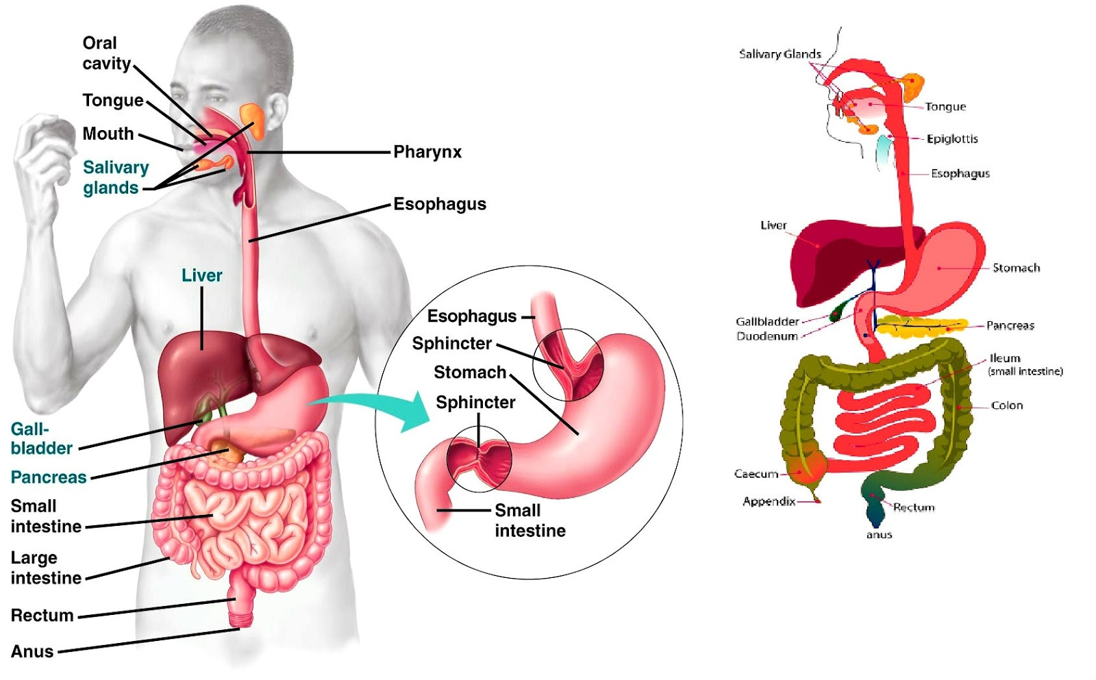 Human Digestive System Diagrams
