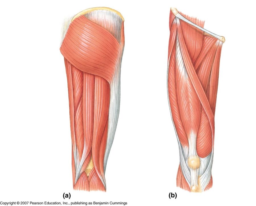 Leg Muscle Diagram Unlabeled