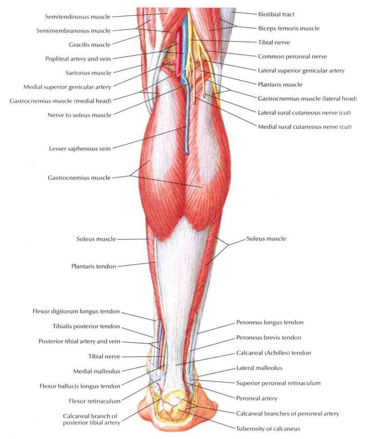 Leg Muscles Diagram Printable