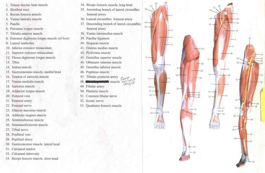 Lower Leg Muscles Diagram