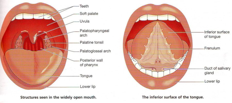 Parts of the Mouth Diagram