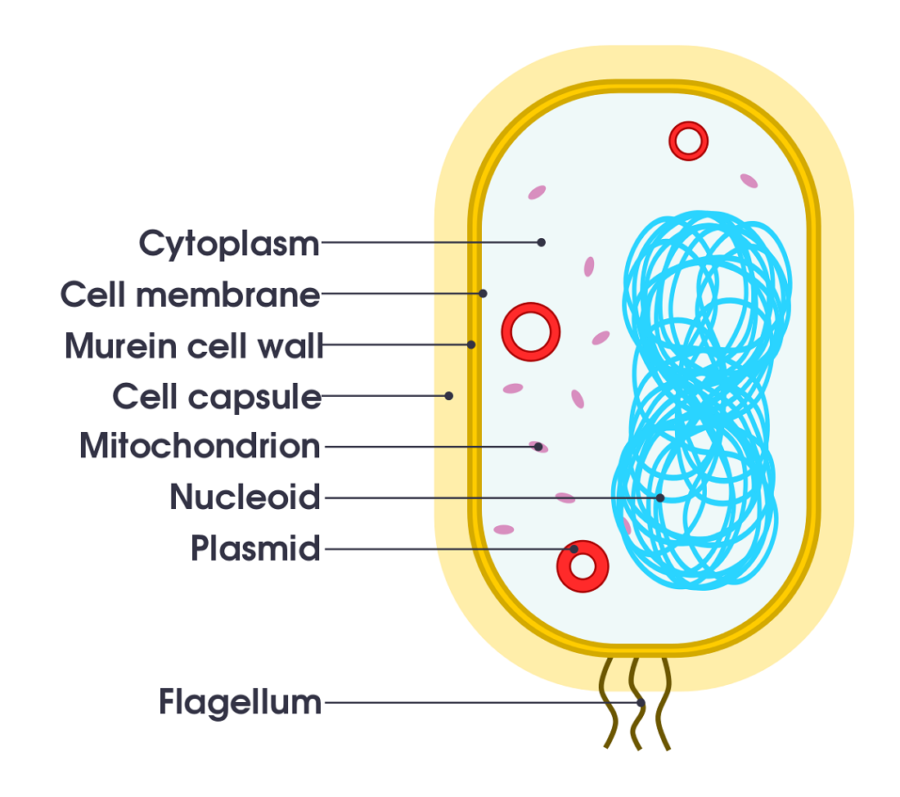 Simple Bacterial Cell Diagram