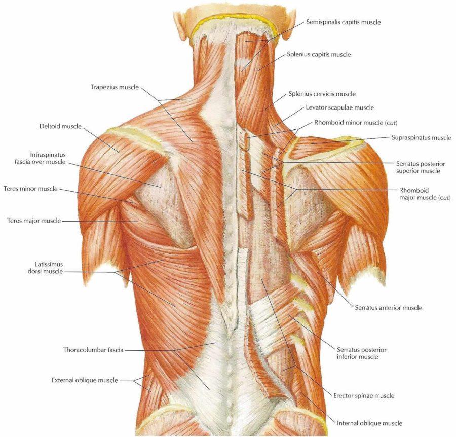 Skeleton Back Muscles Diagram