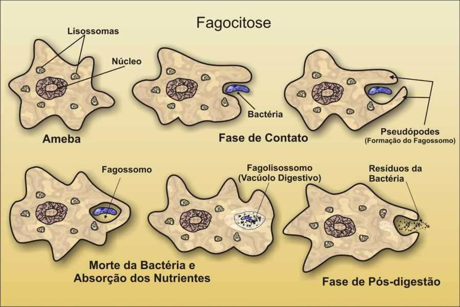 Amoeba Diagram Fagositose