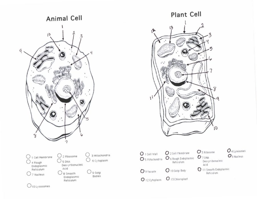 Animal and Plant Cell Diagram Blank