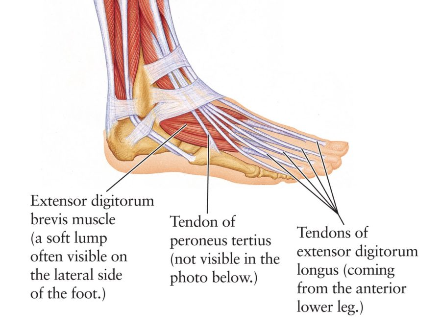 Ankle Diagram Tendons