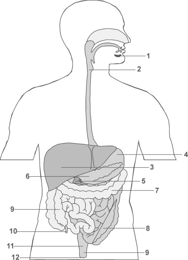 Blank Pancreas Diagram