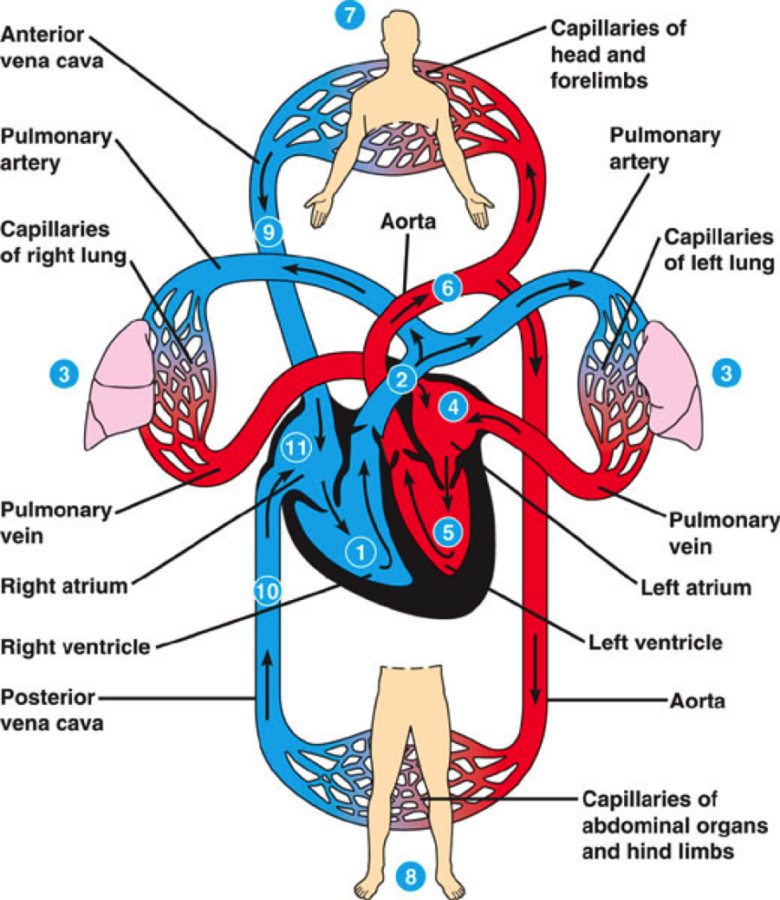 Cardiovascular System Diagram Labeled
