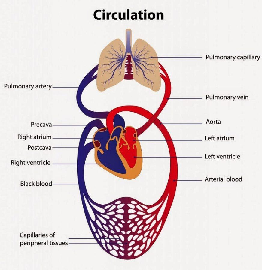 Cardiovascular System Diagram Simple