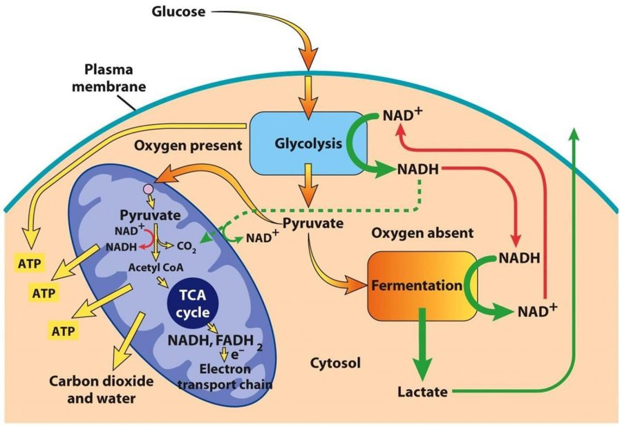 Cycle of Glycolysis Diagram