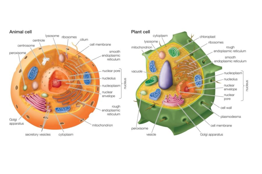 Diagram of animal cell and plant cell