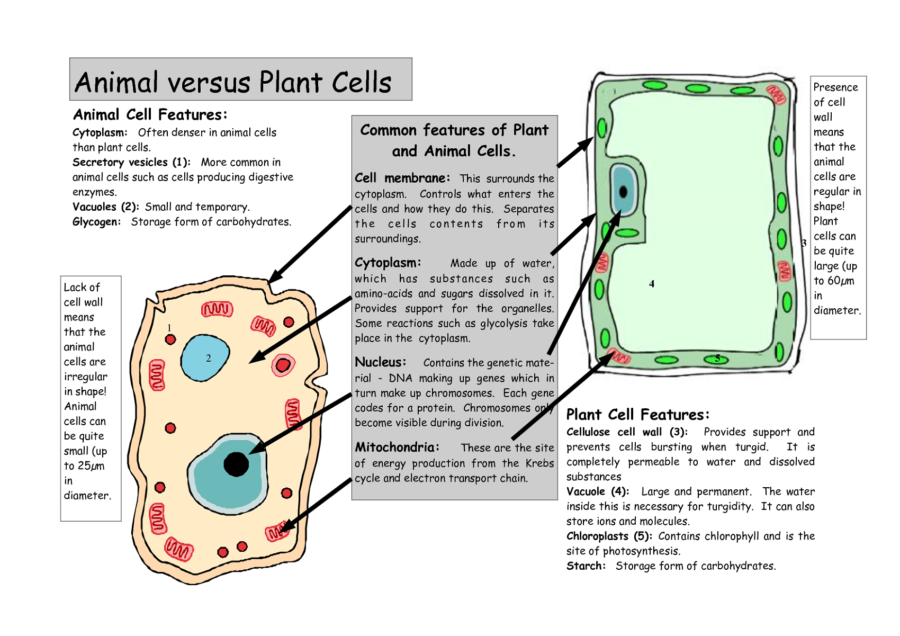 Diagram of animal cell with functions