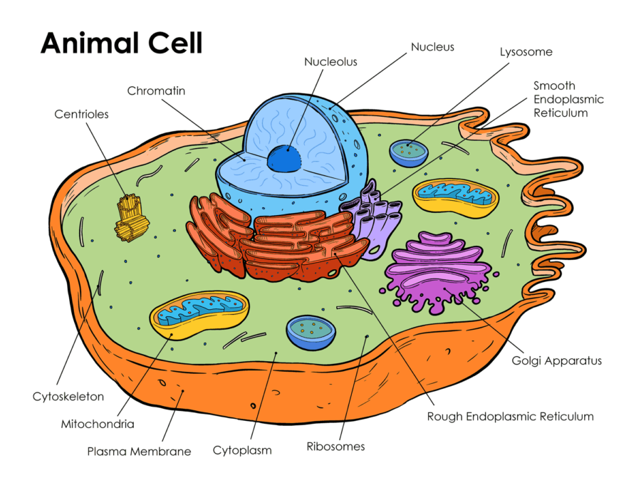 Diagram of animal cell with labelS