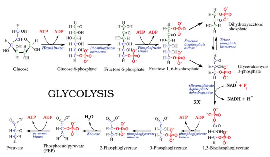 Glycolysis Diagram Biology