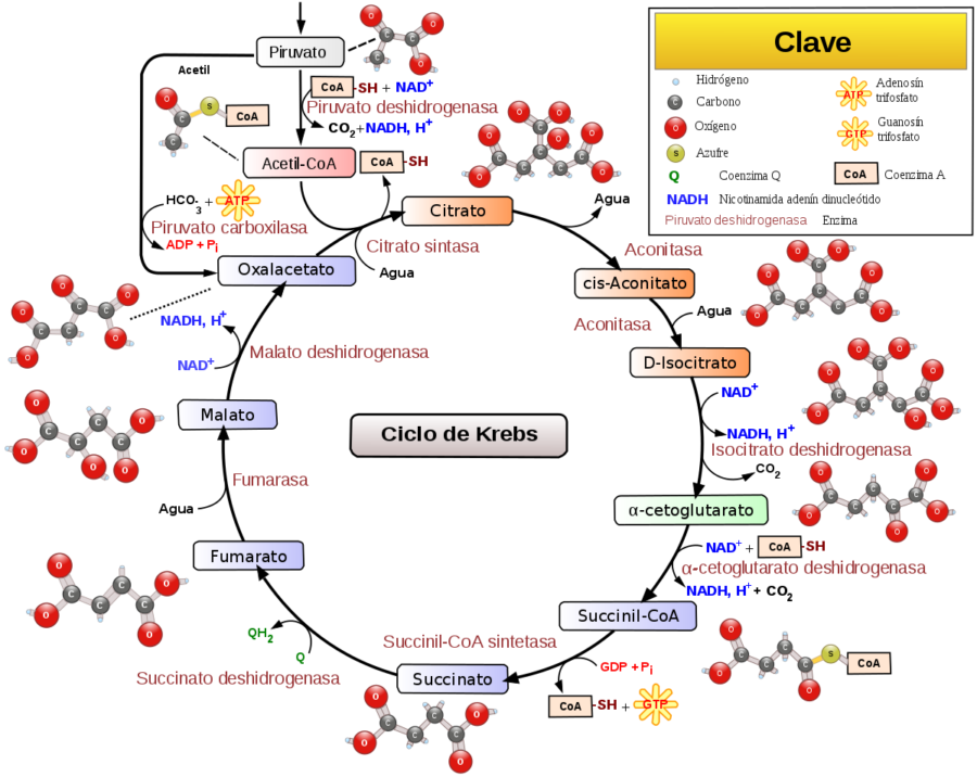 Glycolysis Diagram with Color