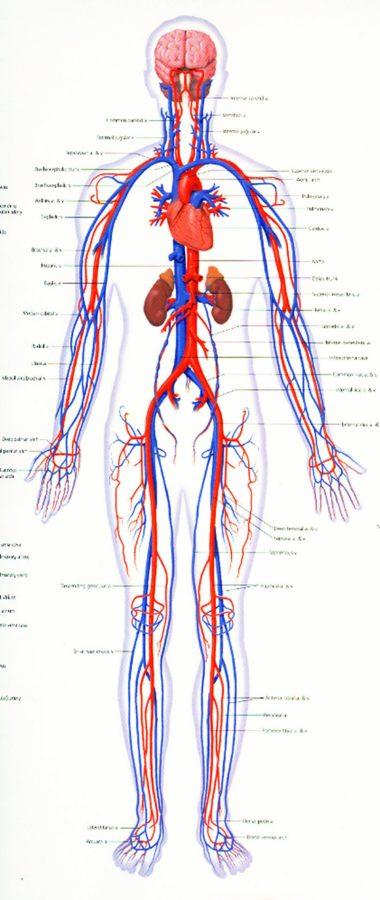Human Cardiovascular System Diagram