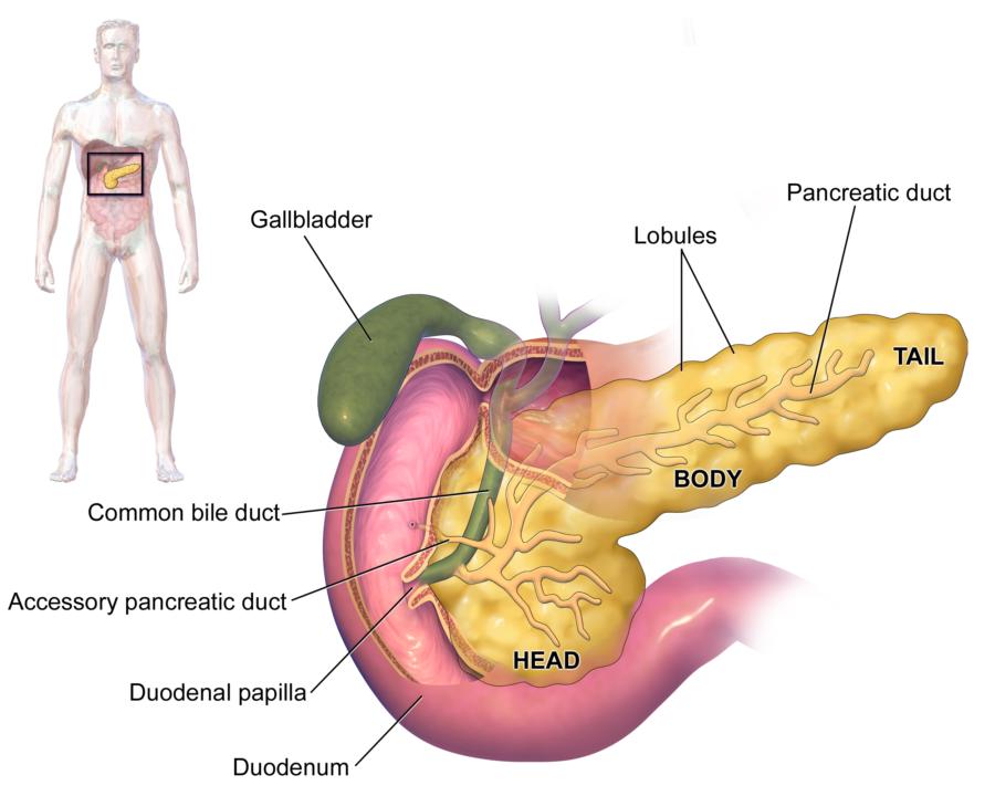 Location of Pancreas Diagram
