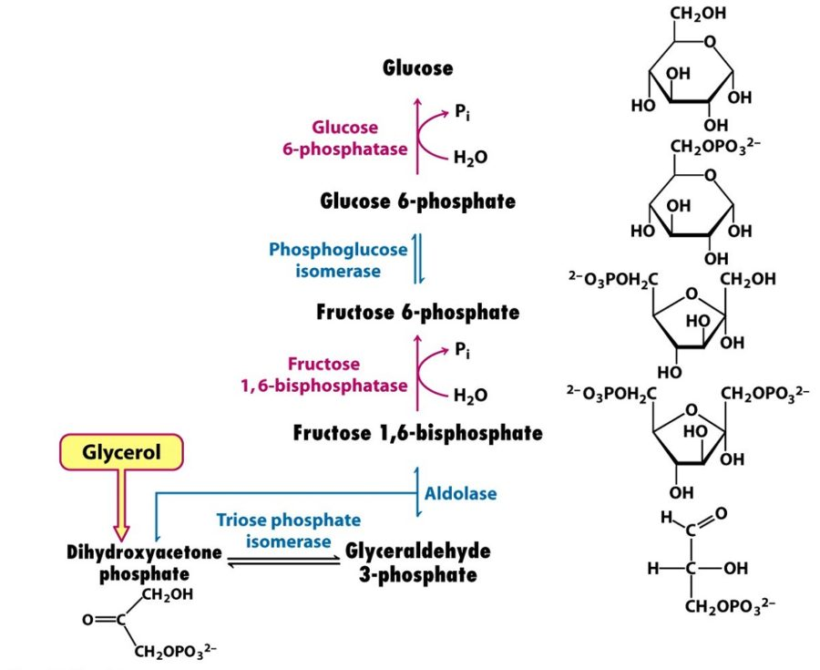 Simple Steps of Glycolysis Diagram