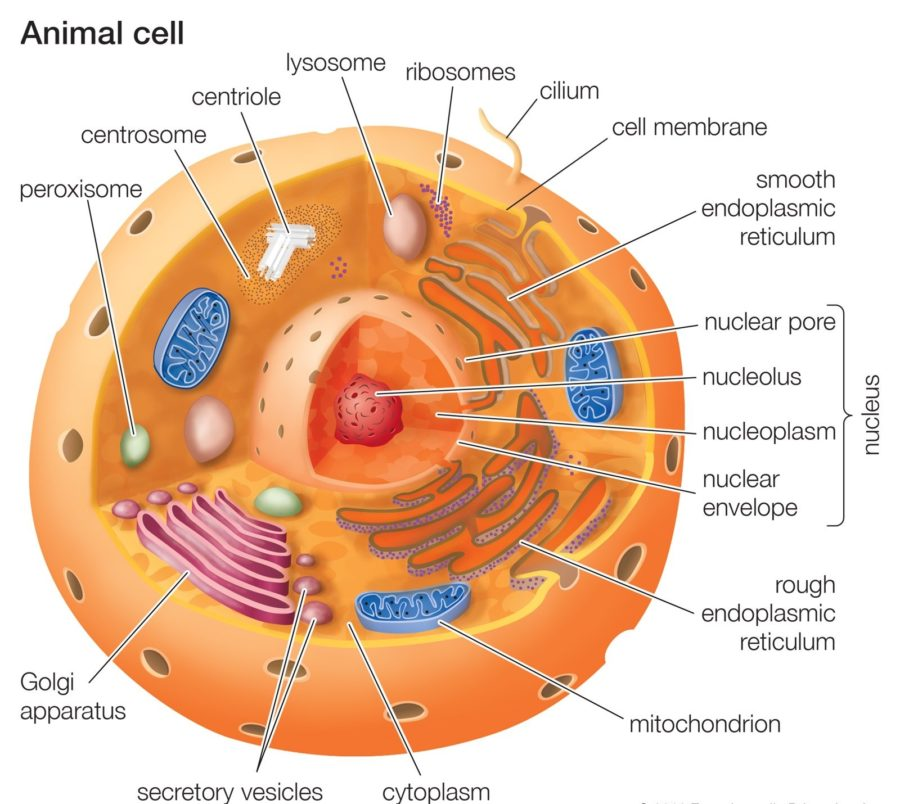 Animal Cell Diagram Labeled with Functions