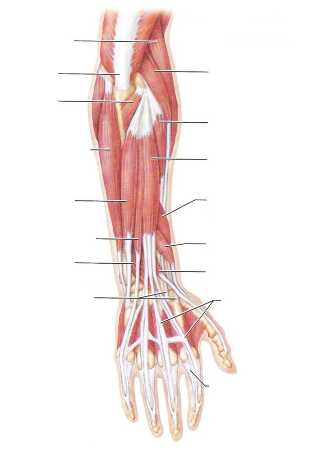 Arm Muscles Diagram Blank