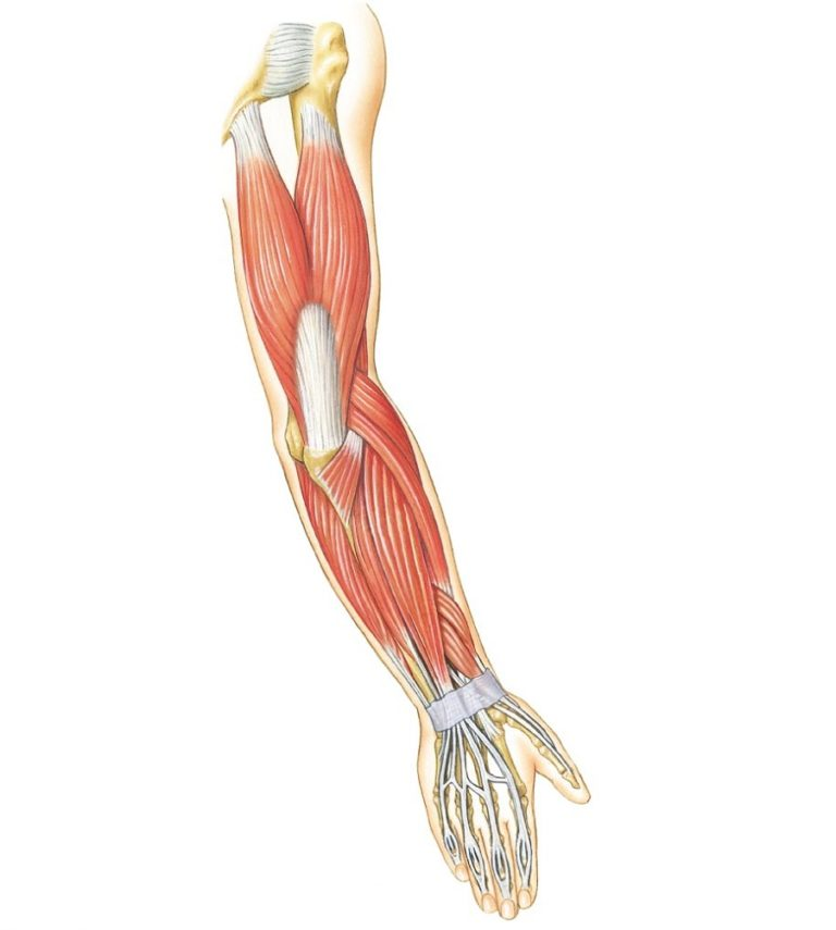 Arm Muscles Diagram Unlabeled - 101 Diagrams