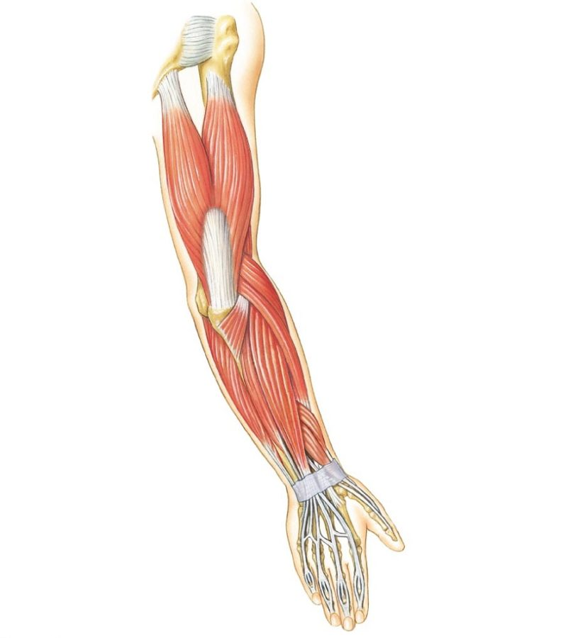 Arm Muscles Diagram Unlabeled
