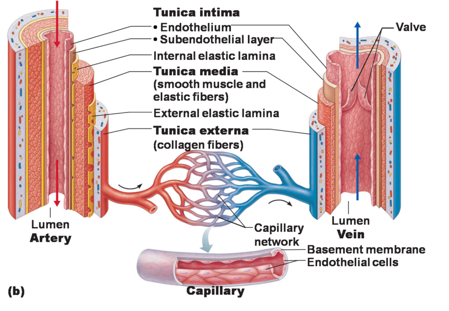 Artery Diagram to Label