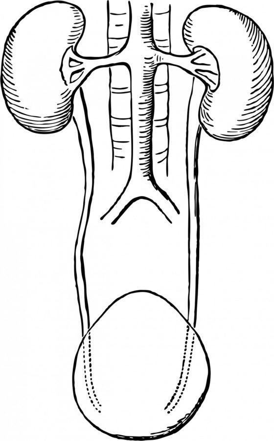 Bladder Diagram Black and White
