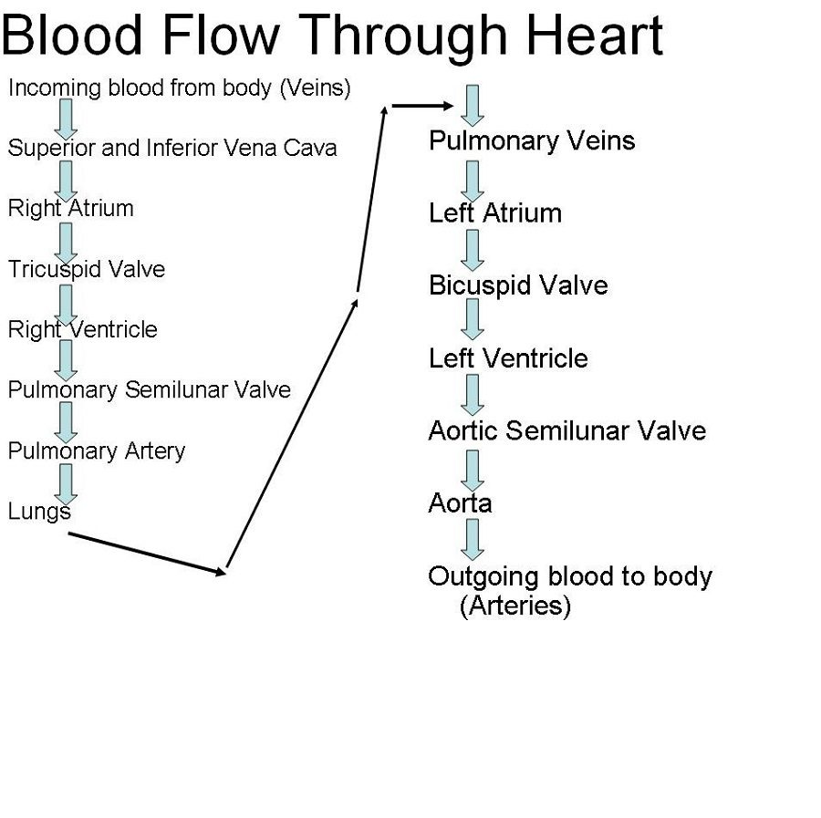 Blood Flow through the Heart Diagram Step by Step