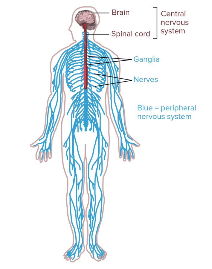 Central Diagram of Nervous System